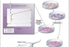 Staminali: Nuova e rivoluzionaria terapia per il diabete!