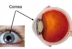 Crescere cornee funzionali usando le staminali.